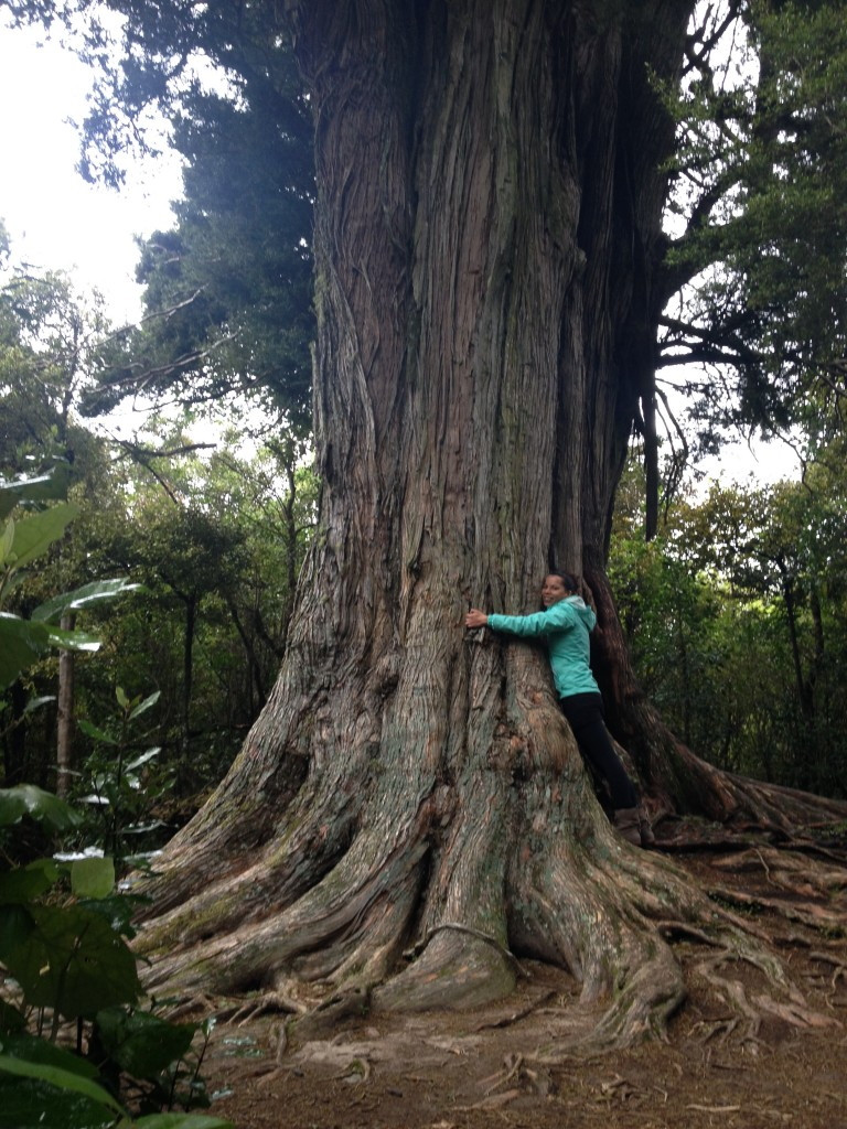 2000 year old Totara tree