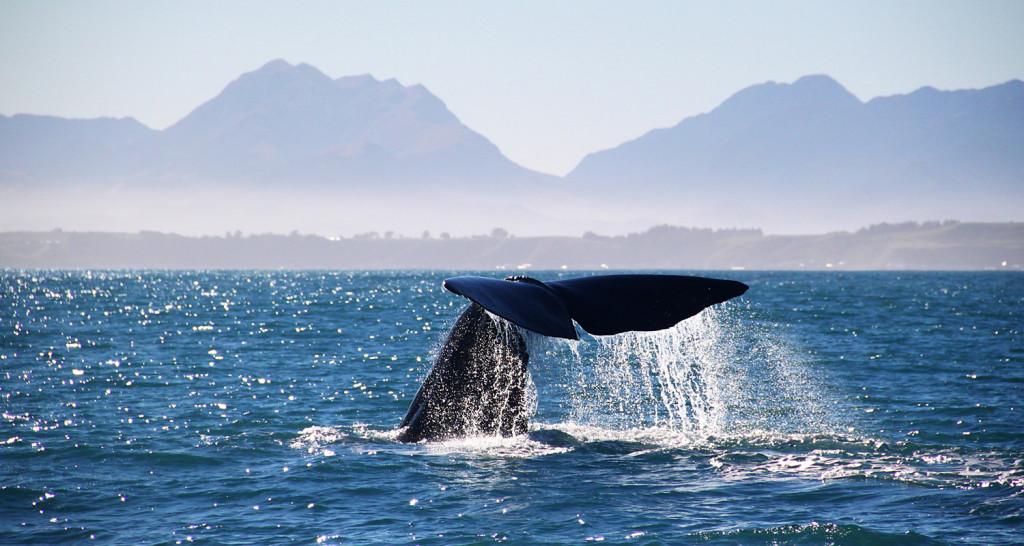 Kiakoura Whale Watch