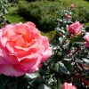 Rose garden- Christchurch Botanic Gardens