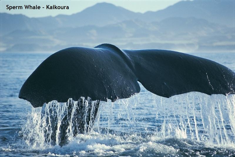 Sperm Whale - Kaikoura